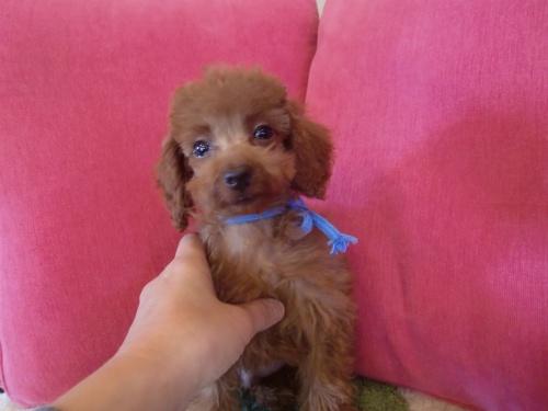 トイプードルの子犬(ID:1271411004)の3枚目の写真/更新日:2018-12-15