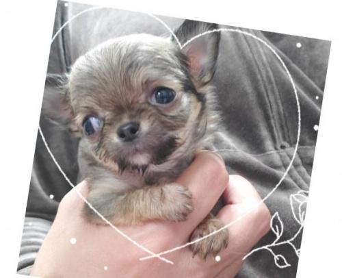 チワワ(ロング)の子犬(ID:1271511001)の2枚目の写真/更新日:2018-02-05