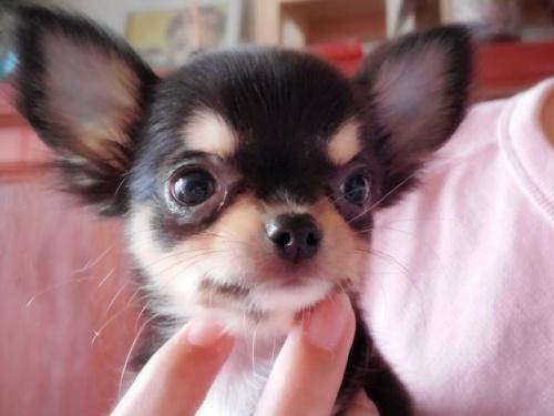チワワ(ロング)の子犬(ID:1271511002)の1枚目の写真/更新日:2018-02-25