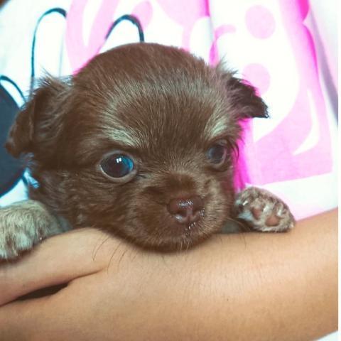 チワワ(ロング)の子犬(ID:1271511003)の1枚目の写真/更新日:2018-07-19