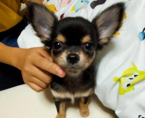 チワワ(ロング)の子犬(ID:1271511004)の1枚目の写真/更新日:2018-07-19