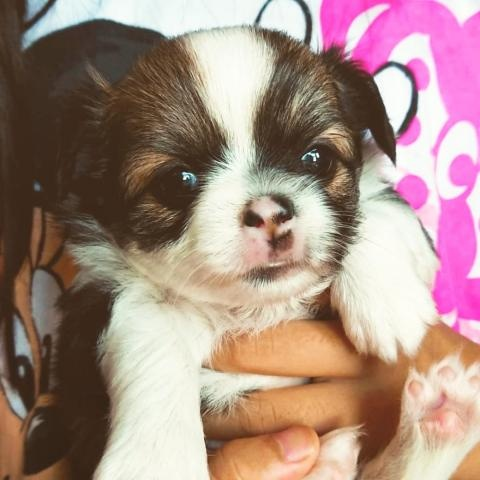 チワワ(ロング)の子犬(ID:1271511005)の1枚目の写真/更新日:2018-07-19