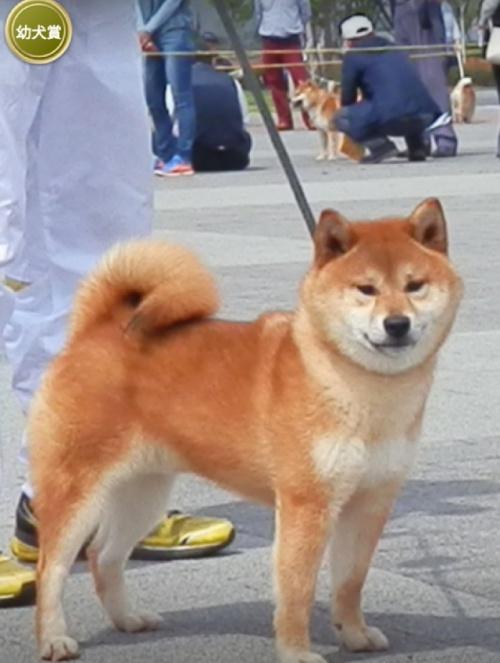 柴犬の子犬(ID:1271611002)の4枚目の写真/更新日:2018-02-03