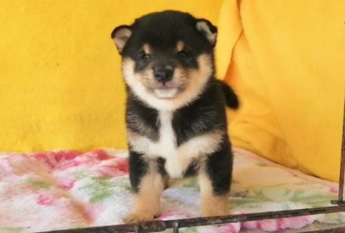 柴犬の子犬(ID:1271611006)の2枚目の写真/更新日:2021-09-10