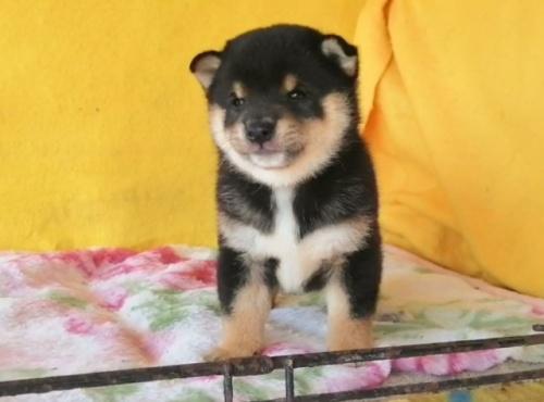 柴犬の子犬(ID:1271611006)の3枚目の写真/更新日:2021-09-10