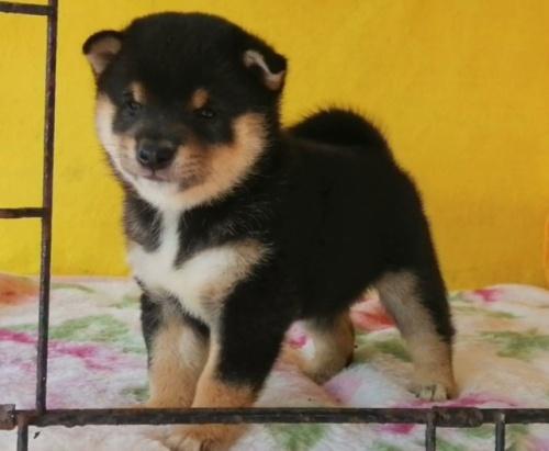 柴犬の子犬(ID:1271611006)の4枚目の写真/更新日:2021-09-10