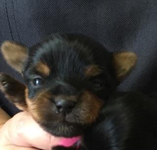 ヨークシャーテリアの子犬(ID:1271711001)の1枚目の写真/更新日:2018-06-21