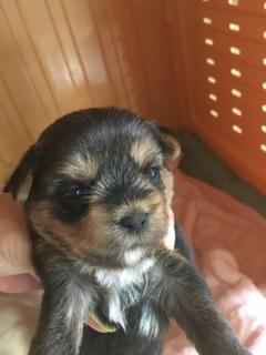 ヨークシャーテリアの子犬(ID:1271711007)の1枚目の写真/更新日:2018-05-14