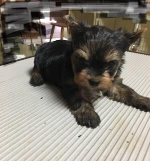 ヨークシャーテリアの子犬(ID:1271711010)の1枚目の写真/更新日:2018-07-13