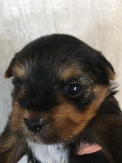 ヨークシャーテリアの子犬(ID:1271711010)の2枚目の写真/更新日:2018-06-30