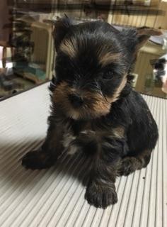 ヨークシャーテリアの子犬(ID:1271711011)の1枚目の写真/更新日:2018-07-13
