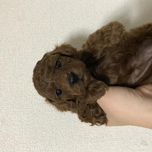 トイプードルの子犬(ID:1271911002)の1枚目の写真/更新日:2018-03-21