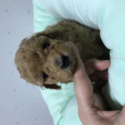 トイプードルの子犬(ID:1271911004)の1枚目の写真/更新日:2018-03-29