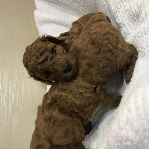 トイプードルの子犬(ID:1271911005)の1枚目の写真/更新日:2018-03-28
