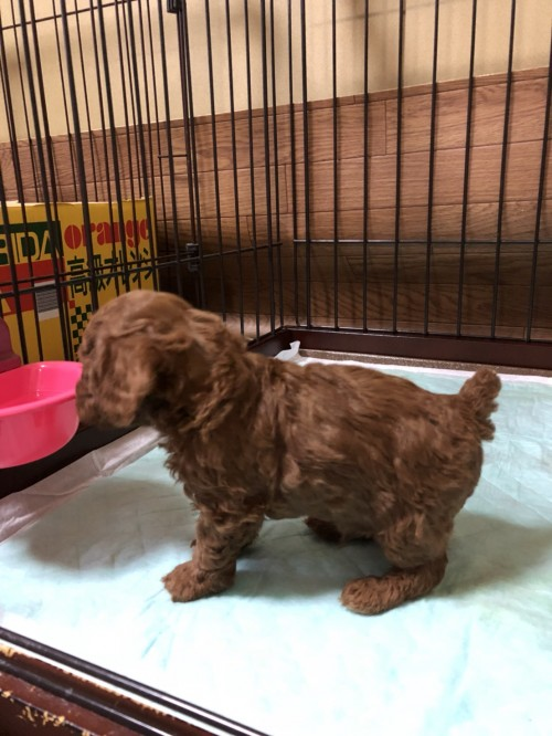 トイプードルの子犬(ID:1271911006)の3枚目の写真/更新日:2018-04-05