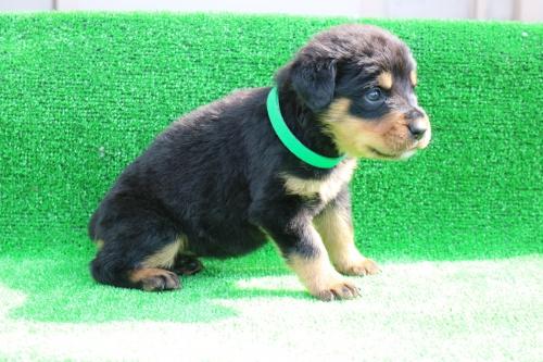 ロットワイラーの子犬(ID:1272011001)の1枚目の写真/更新日:2018-03-16