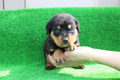 ロットワイラーの子犬(ID:1272011001)の2枚目の写真/更新日:2018-03-16