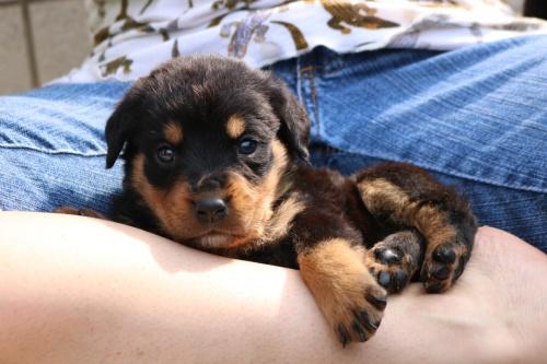ロットワイラーの子犬(ID:1272011001)の3枚目の写真/更新日:2018-03-16