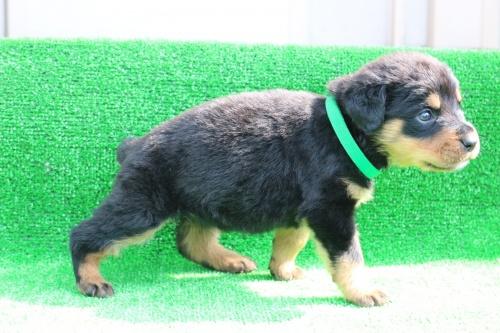 ロットワイラーの子犬(ID:1272011001)の4枚目の写真/更新日:2018-03-16