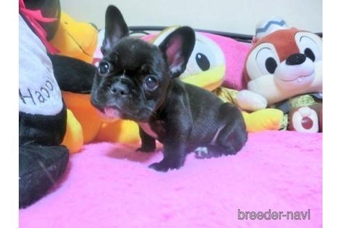 フレンチブルドッグの子犬(ID:1272311008)の1枚目の写真/更新日:2021-01-11