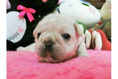 フレンチブルドッグの子犬(ID:1272311009)の1枚目の写真/更新日:2021-06-08