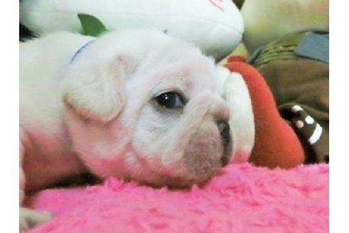 フレンチブルドッグの子犬(ID:1272311009)の3枚目の写真/更新日:2021-06-08