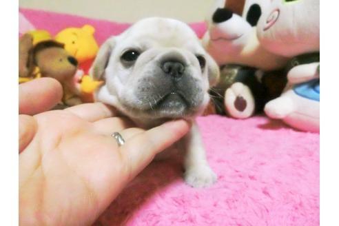 フレンチブルドッグの子犬(ID:1272311011)の1枚目の写真/更新日:2019-08-20