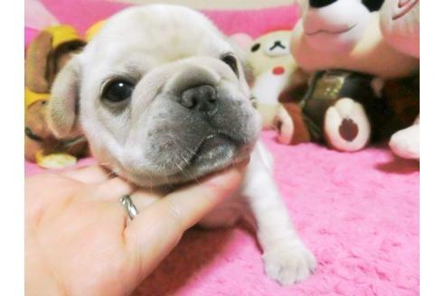 フレンチブルドッグの子犬(ID:1272311011)の2枚目の写真/更新日:2019-08-20