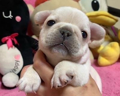 フレンチブルドッグの子犬(ID:1272311012)の1枚目の写真/更新日:2019-08-20