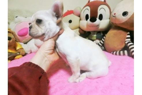 フレンチブルドッグの子犬(ID:1272311013)の3枚目の写真/更新日:2019-02-07