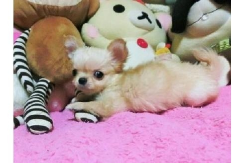 チワワ(ロング)の子犬(ID:1272311014)の2枚目の写真/更新日:2021-02-19
