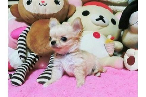 チワワ(ロング)の子犬(ID:1272311014)の3枚目の写真/更新日:2021-02-19
