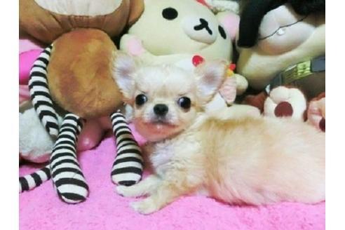 チワワ(ロング)の子犬(ID:1272311014)の4枚目の写真/更新日:2021-02-19