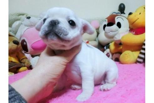 フレンチブルドッグの子犬(ID:1272311015)の1枚目の写真/更新日:2021-01-04