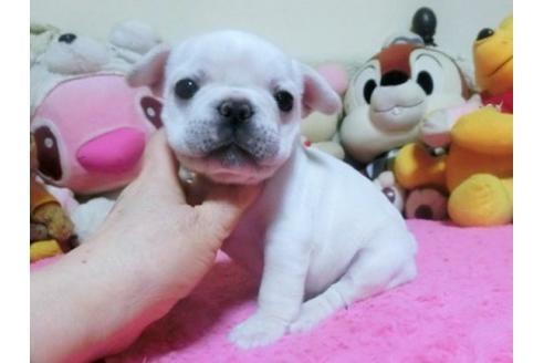 フレンチブルドッグの子犬(ID:1272311015)の2枚目の写真/更新日:2021-01-04