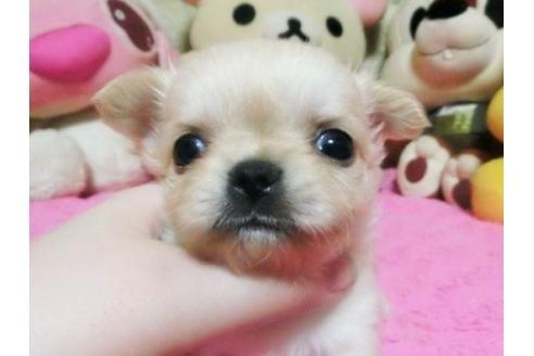 チワワ(ロング)の子犬(ID:1272311018)の1枚目の写真/更新日:2021-01-16