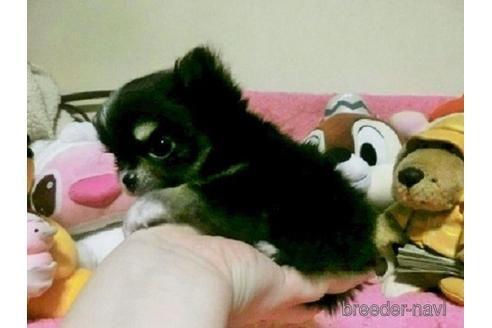 チワワ(ロング)の子犬(ID:1272311024)の1枚目の写真/更新日:2021-08-23