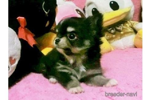 チワワ(ロング)の子犬(ID:1272311024)の2枚目の写真/更新日:2021-08-23