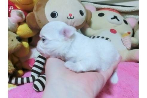 チワワ(ロング)の子犬(ID:1272311025)の1枚目の写真/更新日:2021-03-18