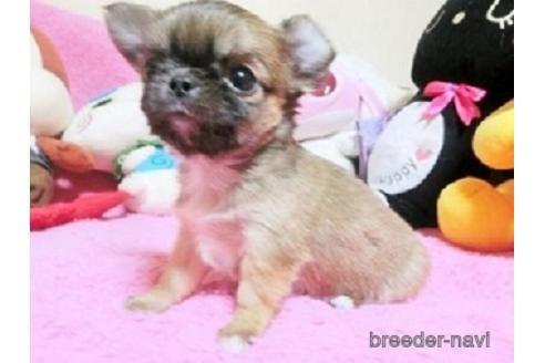 チワワ(ロング)の子犬(ID:1272311026)の1枚目の写真/更新日:2021-01-11