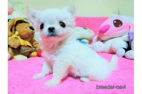 チワワ(ロング)の子犬(ID:1272311027)の2枚目の写真/更新日:2021-02-09