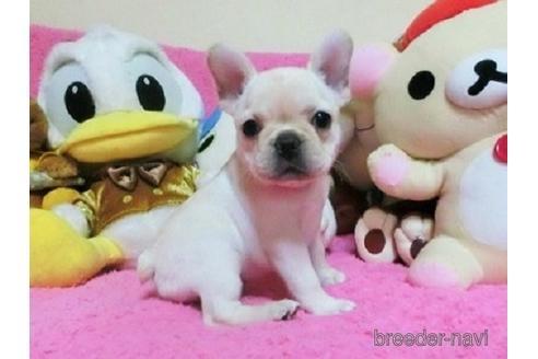 フレンチブルドッグの子犬(ID:1272311028)の1枚目の写真/更新日:2021-02-22