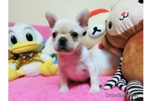 フレンチブルドッグの子犬(ID:1272311028)の2枚目の写真/更新日:2021-02-22