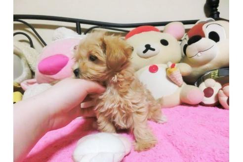 ミックスの子犬(ID:1272311031)の4枚目の写真/更新日:2021-04-09