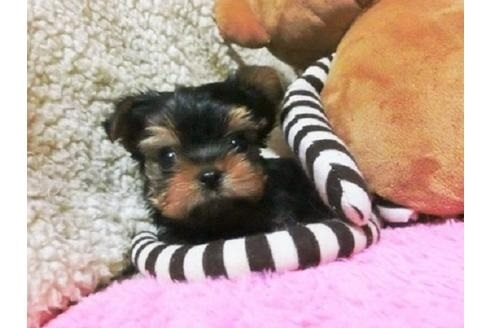 ヨークシャーテリアの子犬(ID:1272311032)の3枚目の写真/更新日:2021-04-19