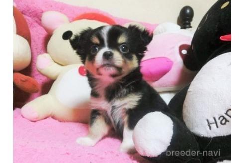 チワワ(ロング)の子犬(ID:1272311037)の1枚目の写真/更新日:2021-08-27