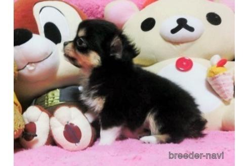 チワワ(ロング)の子犬(ID:1272311037)の2枚目の写真/更新日:2021-08-27
