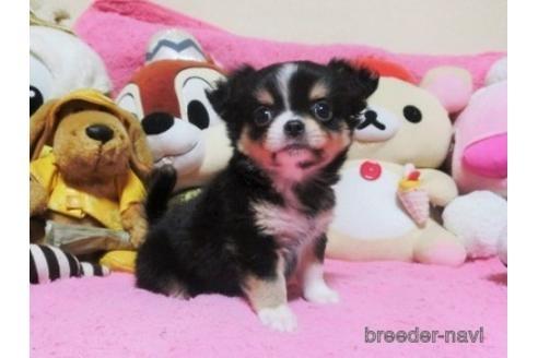 チワワ(ロング)の子犬(ID:1272311037)の3枚目の写真/更新日:2021-08-27