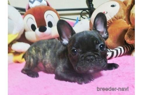 フレンチブルドッグの子犬(ID:1272311038)の1枚目の写真/更新日:2021-08-27