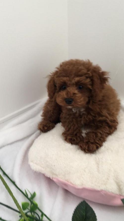 トイプードルの子犬(ID:1272411001)の2枚目の写真/更新日:2018-04-21